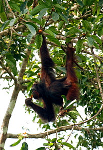 Male Orang utan (Pongo pygmaeus) feeding on fruit in strangler fig tree, Danum Valley, Sabah, Borneo - Justine Evans