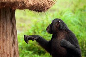 "Adolescent male Chimpanzee (Pan troglodytes) ""Pele"" next to crop storage hut, from study group in Bossou, Guinea  -  Justine Evans"