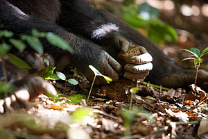 "Adolescent male Chimpanzee (Pan troglodytes) using stone hammer and anvil to crack nuts, ""Pele"" from study group in Bossou, Guinea  -  Justine Evans"