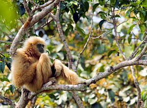 "Alpha-male White-handed gibbon (Hylobates lar) sitting on branch observing a neighboring gibbon family on the border of his territory, ""Chai"" a member of study group ""C"", Khao Yai National Park, Thail...  -  Justine Evans"
