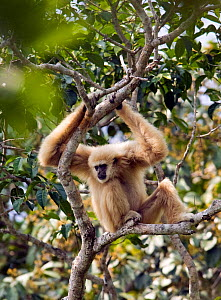 "Alpha male White-handed gibbon (Hylobates lar) in tree observing a neighboring gibbon family on the border of his territory, ""Chai"" a member of study group ""C"", Khao Yai National Park, Thailand, Endan...  -  Justine Evans"