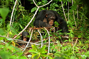 Chimpanzee (Pan troglodytes) crop raiding adult and baby feeding on manioc plants, from the Bossou study group, Guinea  -  Justine Evans