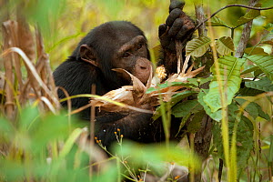 "Adolescent male Chimpanzee (Pan troglodytes) crop raiding maize from local farmers, ""Jeje"" from study group in Bossou, Guinea  -  Justine Evans"