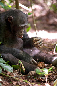 "Adolescent male Chimpanzee (Pan troglodytes) cracking nuts using rock hammer and anvil tools, ""Pele"" from study group in Bossou, Guinea  -  Justine Evans"