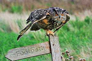 Eagle owl (Bubo bubo) ready to fly away from signpost, captive, England, UK  -  Philippe Clement