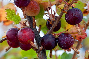 Fruits of Bristly wild / Canadia gooseberry (Ribes oxyacanthoides) Shores of Hudson Bay, Canada, late September  -  Nick Garbutt