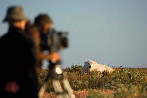 "Polar bear (Ursus maritimus) being filmed by BBC NHU for series ""Frozen Planet"" with producer Miles Barton and cameraman Adam Ravetch, near Nanuk Lodge, shores of Hudson Bay, Manitoba, Canada, late Se... - Nick Garbutt"
