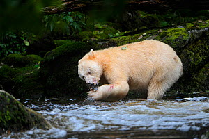 Spirit / Kermode bear (Ursus americanus kermodei) white morph of the black bear, in stream feeding on salmon, Gribbell Island, Great Bear Rainforest, British Columbia, Canada, September - Nick Garbutt