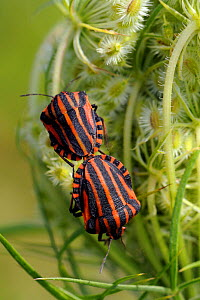 Red and black striped stink bugs (Graphosoma lineatum) mating on Wild carrot (Daucus carota) seedhead, Brandenburg, Germany - Nick Upton