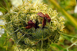 Red and black striped stink bugs (Graphosoma lineatum) competing to mate on Wild carrot (Daucus carota) seedhead, Brandenburg, Germany - Nick Upton