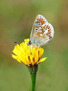 Brown argus butterfly (Aricia agestis) feeding from Autumn hawkbit (Leontodon autumnalis) flower, South London, UK  -  Russell Cooper