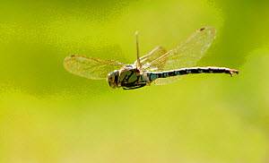 Male Southern hawker dragonfly (Aeshna cyanea) in flight, Wimbledon Common, South London, UK  -  Russell Cooper