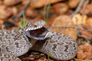 Rhombic egg eating snake (Dasypeltis scabra) defensive threat display, West Coast National Park, Western Cape, South Africa  -  Tony Phelps