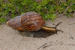 Giant snail (Achatina fulica) de Hoop Nature reserve, Western Cape, South Africa  -  Tony Phelps
