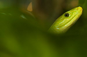Eastern green mamba {Dendroaspis angusticeps} head portrait, captive, from East Africa  -  Edwin Giesbers