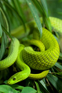 Eastern green mamba {Dendroaspis angusticeps} coiled in vegetation, captive, from East Africa  -  Edwin Giesbers
