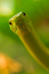 Eastern green mamba {Dendroaspis angusticeps} strike pose, captive, from East Africa - Edwin Giesbers