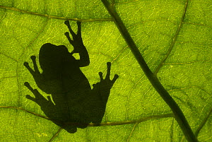 Common tree frog (Hyla arborea) silhouette viewed through leaf, the Netherlands - Edwin Giesbers