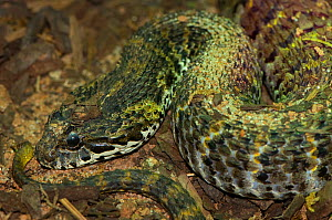 Rough-scaled Death Adder {Acanthophis rugosus} Captive, from SE Asia  -  Edwin Giesbers