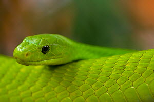 Eastern green mamba {Dendroaspis angusticeps} captive, from East Africa  -  Edwin Giesbers