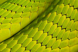 Eastern green mamba {Dendroaspis angusticeps} skin detail, captive, from East Africa  -  Edwin Giesbers