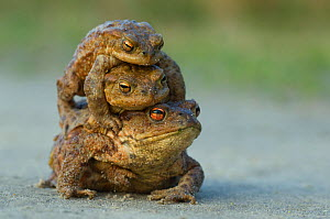 Common european toad {Bufo bufo} two males attempting to mate with one female, the Netherlands  -  Edwin Giesbers
