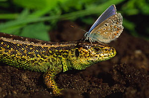 Sand lizard {Lacerta agilis} male with Common  blue butterfly {Polyomattus icarus} resting on its head, the Netherlands - Edwin Giesbers