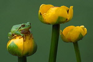 Common tree frog {Hyla arborea} resting on {Nyphar lutea} flower, the Netherlands - Edwin Giesbers