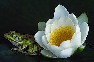 European edible frog {Rana esculenta} beside Water Lily flower {Nymphaea alba} the Netherlands - Edwin Giesbers