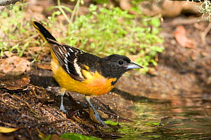 Baltimore oriole (Icterus galbula) male at water, High Island, Texas, USA  -  Barry Mansell