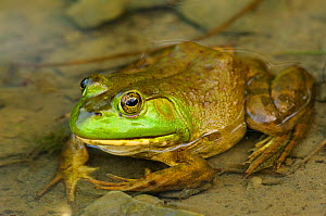Bullfrog (Rana catesbeiana) partially submerged in a pond. August. Tompkins County, New York - Gerrit Vyn