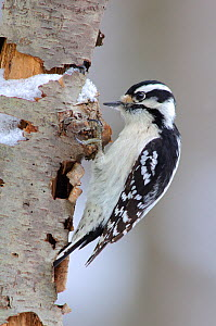Downy Woodpecker (Picoides pubescens) female, foraging on a decaying tree. February, Tompkins County, New York - Gerrit Vyn