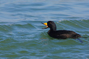 Black Scoter (Melanitta nigra) adult male vocalizing. Ocean County, Maryland. New Jersey.  -  Gerrit Vyn