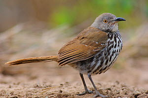 Long-billed Thrasher (Toxostoma longirostre) of the subspecies T. l. sennetti. Starr County, Texas  -  Gerrit Vyn