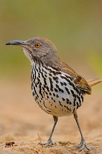 Adult Long-billed Thrasher (Toxostoma longirostre) foraging for insects, Starr County, Texas  -  Gerrit Vyn