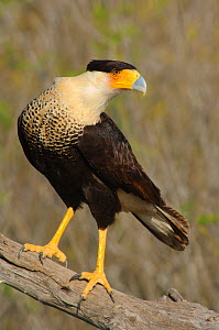 Northern / Crested Caracara (Caracara plancus cheriway) Starr County, Texas, USA, March  -  Gerrit Vyn