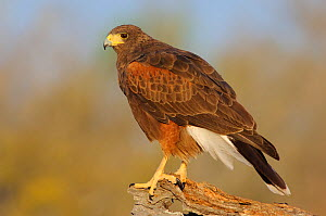 Harris's Hawk (Parabuteo unicinctus) of the subspecies P. u. harrisi. Starr County, Texas.  -  Gerrit Vyn