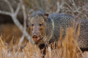 Collared Peccary  (Tayassu tajacu) Willacy County, Texas - Gerrit Vyn