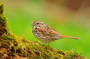 Adult Song Sparrow (Melospiza melodia) in Spring on mossy tree trunk. Eastern subspecies M. m. melodia. Tompkins County, New York, USA  -  Gerrit Vyn