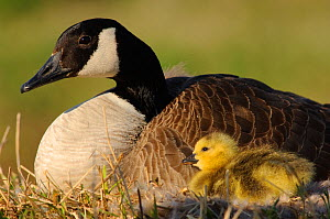Canada Goose (Branta canadensis) brooding a recently hatched chick at the nest. Tompkins County, New York, USA  -  Gerrit Vyn