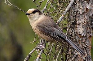 Adult Gray Jay (Perisoreus canadensis)  in a spruce pine, Coldfoot, Alaska, USA - Gerrit Vyn