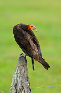 Adult Lesser Yellow-headed Vulture (Cathartes burrovianus) perched on a fence post. Veracruz, Mexico. - Gerrit Vyn