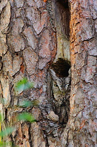 Eastern Screech-Owl (Otus / Megascops asio) in gray morph plumage, roosting in a Pileated Woodpecker (Dryocopus pileatus) excavation hole in a Red Pine tree, Autumn, Tompkins County, New York, USA  -  Gerrit Vyn