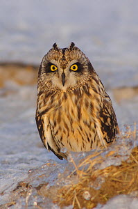 Short-eared Owl (Asio flammeus) on the ground, with erect ear tufts. Jefferson County, New York, USA  -  Gerrit Vyn