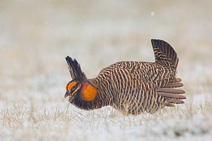 Adult male Greater Prairie-Chicken (Tympanuchus cupido) on a snow covered lek. Ft. Pierre National Grassland, South Dakota, USA  -  Gerrit Vyn