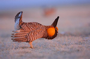 Male Greater Prairie-Chicken (Tympanachus cupido) displaying on a lek. During the  'Booming' display males  produce sounds through their air sacs, but also by stamping their feet, wing-shaking, and ta...  -  Gerrit Vyn
