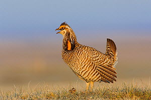 "Male greater Prairie-Chicken (Tympanachus cupido) giving a ""Whoop"" call on a lek. ""Whoop"" calls are generally uttered when females are present. Ft. Pierre National Grassland, South Dakota, USA  -  Gerrit Vyn"