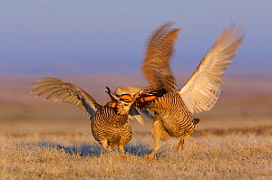 Aggressive encounter between two male Greater Prairie-Chickens (Tympanachus cupido) on a lek. During these aggressive encounters, males lower their pinnae feathers, deflate their air sacs, leap into t...  -  Gerrit Vyn