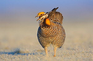 Male Greater Prairie-Chicken (Tympanachus cupido) vocalizing on a lek. This species is currently endangered. Ft. Pierre National Grassland, South Dakota, USA  -  Gerrit Vyn