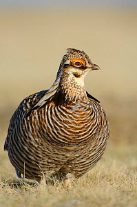 Male greater Prairie-Chicken (Tympanachus cupido) on lek. Ft. Pierre National Grassland, South Dakota, USA  -  Gerrit Vyn